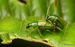 Leaf Beetles mating, Diabrotica sp.? Galerucinae (Ecuador Megadiverso) Tags: andreaskay beetle chrysomelidae diabroticasp ecuador galerucinae leafbeetle luperini mating