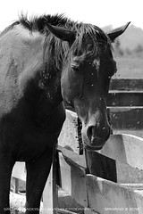 Surrounded (srkirad) Tags: animal horse domestic exhausted thin suffer pain flies annoyed blackandwhite blackwhite bw monochrome greyscale zasavica travel serbia srbija summer heat sunny