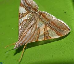 Squinty chook moth Glyphodes nyctealis Pyraustinae Crambidae Airlie Beach rainforest P1010985 (Steve & Alison1) Tags: squinty chook moth glyphodes nyctealis pyraustinae crambidae airlie beach rainforest