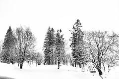Norwegian Winter (raymorgan4) Tags: hordaland bergen snowsacpe snow winter norway norge pine trees contrast fujifilmx100f monochrome blackandwhite gullfjellet gullbotn