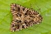 _W4A9386 Lychnis (Hadena bicruris) (ajmatthehiddenhouse) Tags: moth uk garden stmargaretsatcliffe kent 2018 hadeninae noctuidae hadenabicruris hadena bicruris lychnis