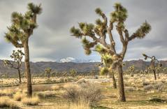 driving JT in winter (maryannenelson) Tags: california winter joshuatreenationalpark nationalpark joshuatree tree rocks landscape desert clouds