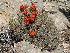 Mojave mound cactus, Echinocereus mojavensis (Jim Morefield) Tags: inyocounty california unitedstates cactaceae cactus succulent cactusfamily echinocereus echinocereusmojavensis angiosperm dicot plant flowers flower blossom bloom wfgna flora wildflower wildflowers cnpsok mojavemoundcactus shrub shrubs pinyonjuniper carbonate may northamerica whitemountains greatbasin inyonationalforest eswild spring olympus evolt e510 olympuse510 jdm20170973 taxonomy:family=cactaceae taxonomy:genus=echinocereus taxonomy:binomial=echinocereusmojavensis taxonomy:common=mojavemoundcactus geo:alt=2004m rock red manypetals roundcluster