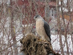 Cooper's Hawk (Keith Chamberlin) Tags: hawk nhbirds nature bird birding coopers squamriver