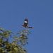 uncertain - dove in flight