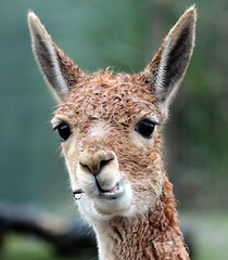 vicuna Blijdorp 094A0313 (j.a.kok) Tags: animal blijdorp mammal dier vicuna zuidamerika southamerica