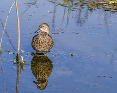 Reflection (Mike_FL) Tags: reflection nikon nikond7500 nature floridawildlife outdor photograph image florida tamron100400mmf4563divcusda035