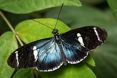 Sara Longwing (lclower19) Tags: sara magicwings sodeerfield butterfly massachusetts