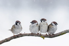504709248 (sara.declercq) Tags: maleanimal males twoanimals fouranimals largegroupofanimals sparrow gardening animalwing flowerbed sitting kissing fighting flying conflict white brown blue pair nature tail feather bird winter sky snow fence tocommunicate towatch animals