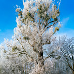 Big beautiful tree covered in frost thumbnail