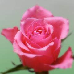 Pastel rose (PaulE1959) Tags: macromondays pastel rose flower pink green nature garden petal petals macro closeup beautiful romantic nikon d5200