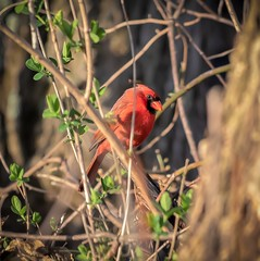 Cardinal (mpalmer934) Tags: bird branches spring cardinal