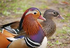 Pair of mandarins (Matt C68) Tags: mandarin aixgalericulata duck drake feathers bird waterfowl regentspark london