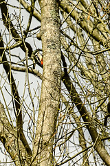 Greater Spotted Woodpecker (ianbartlett) Tags: outdoor 365 nature wildlife landscapes monochrome cars pylons waterfalls deer lambs insects flowers trees bridges streams ponds orchids bluebells boathouse