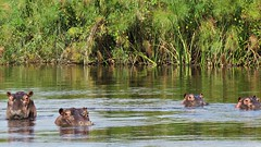 Botswana Hippos in the Okavango Delta (h0n3yb33z) Tags: botswana animals wildlife okavangodelta hippos hippopotamus africa