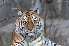 Die hübsche Lady (Ria Trouw) Tags: tierparkberlin tierpark berlin tiger sumatratiger raubtiere säugetiere cats