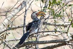 Southern Yellow-billed Hornbill (Tockus leucomelas) (Mikhail & Yana) Tags: southernyellowbilledhornbill tockusleucomelas bird nature wildlife krugernationalpark