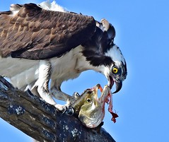 Eye to eye with breakfast (dina j) Tags: floridawildlife floridabirds florida bird wildlife osprey fish fortdesoto fishhawk animal outdoors nature nikon nikond7200 pinellascounty birdeatingfish