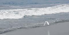 Garça. Varkala, India. (Otavio5000) Tags: ocean sea wave heron garça vôo flight nature seashore beach varkala india