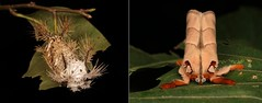 METAMORPHOSIS - Cup Moth (Mahanta sp., Limacodidae) (John Horstman (itchydogimages, SINOBUG)) Tags: insect macro china yunnan itchydogimages sinobug entomology cup moth lepidoptera limacodidae stinging nettle slug caterpillar larva collage metamorphosis mahanta snickers fbipm