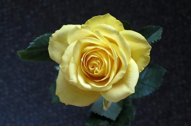 Обои цветок, роза, жёлтая роза картинки на рабочий стол, раздел цветы - скачать