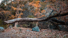 Ye Olde Floating Tree (Moogul) Tags: nikon d500 dx sigma 1835mm 18 simga1835mm18 art lost maples state park autumn fall tree