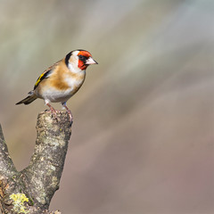 Goldfinch (Margaret S.S) Tags: european goldfinch male