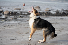 Catch (jillyspoon) Tags: catch bordercollie dog beach playing