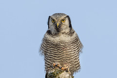 Northern hawk-owl (JS_71) Tags: nature wildlife nikon photography outdoor 500mm bird new winter see natur pose moment outside animal flickr colour poland sunshine beak feather nikkor wildbirds planet global national wing eye d7500 sky