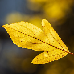 Yellow Leaf (melmark44) Tags: closeup fullframesensor fullframe leaf autumn fall yellow colorful dof shallowdepthoffield bokeh blur changingseasons changingcolors backlight backlit backlighting veins canoneos5dmarkiv ef2470mmf28lusm 5d4 5dmkiv 5d canon dslr f28