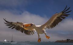 Pelikan (petraherdlitschke) Tags: bird afrika animals vogel wildlife namibia canon6d canon2470mm