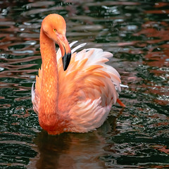 Bathing time (bransch.photography) Tags: zoo flamingo wildlife natural beak exotic cute nature water germany munich beauty wild fauna orange animal pond time feather colorful attraction beautiful pink bathing bird outdoor bavaria park elegant europe tropical color adorable colour lovable sweet