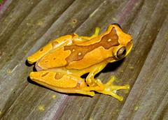 Hourglass Treefrog - Dendrosophus ebraccatus (Hylidae) 115v-15498 (Perk's images) Tags: hourglasstreefrog dendrosophusebraccatus anura frog amphibian neotropical riotarcolitos tarcoles puntarenas costarica animalplanet