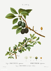 Blackthorn (Prunus spinosa) illustration from Traité des Arbres (Free Public Domain Illustrations by rawpixel) Tags: pierre redoute redouté antique arts beautiful blackthorn blossom botanical botany cultivation decoration drawing element engraved environment fineart floral flower graphic historic historical history houseplant illustration joseph name nature painting pierrejosephredouté plant prunus retro sketch sketching spinosa spring traitédesarbresetarbustes tree tropical vintage