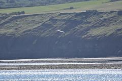 Robin Hood's Bay (131) (rs1979) Tags: greyheron heron robinhoodsbay northyorkshire yorkshire beach rockyforeshore