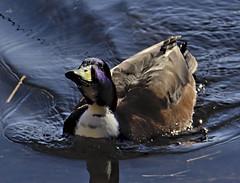 Mallard 3 5 Mar 2019 (Tim Harris1) Tags: nikond7100 nikkor80400afs sculthorpemoor norfolk birds mallard