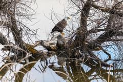 Bald Eagles Klamath Refuge-4.jpg (RaJ-Fr) Tags: bald eagle lake water tree reflection klamath refuge