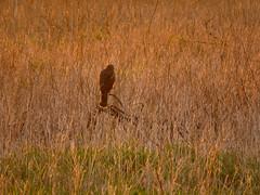 Northern Harrier golden moment (stonebird) Tags: northernharrier circushudsonius ballonawetlandsecologicalreserve areaa march img0288