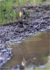 Siskin (Carduelis spinus) (Jud's Photography) Tags: siskin carduelisspinus cannockchase uk bird