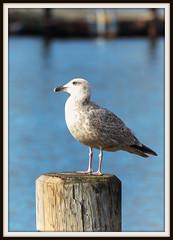 E79B1457 (Arne J Dahl) Tags: bird seagull canon dof nordjylland sølvmåge water bokeh frame