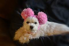 What?! It's my Winter hat! (Dotsy McCurly) Tags: bunny maltese dog cute white pink pompom hat nikonz7 nikkorz50mmf18s