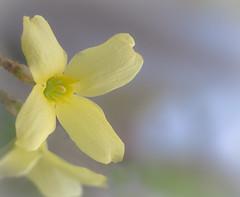 Blossom (mahar15) Tags: spring yellow flower macro flowers bright nature soft forsythia bloom petals blossoms yellowflower