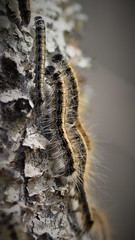 Caterpillars on the move (Erica Annie) Tags: caterpillar insect nature