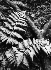 Snow on Ferns (courtney_meier) Tags: japan jigokudani winter blackandwhite fern ferns forestfloor monochrome mountains snow shimotakaidistrict naganoprefecture jp