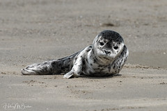 _1HB7395 (Hilary Bralove) Tags: oregon oregoncoast pacificnorthwest wildlife seals sealions seal sealpup marinemammals sealife oregonwildlife oregonmarinemammals