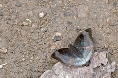 Euthalia monina ssp. kesava - Chiang Dao_20180202_1313_DSC_7394_DxO (I love comments but delete awards - Jan F. Rasmuss) Tags: thailand d800 butterfly butterflies macro closeup insecta lepidoptera rhopalocera nikon janfischerrasmussen janfrasmussen asia southeastasia nymphalidae nymphalid nymphalids limenitidinae doi chiangmai chiangmaiprovince euthalia euthaliamonina monina kesava euthaliamoninasspkesava