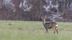 Brocard - Roe deer buck (dom67150) Tags: animal capreoluscapreolus chevreuil herbsheim nature ried roedeer wildlife brocard buck