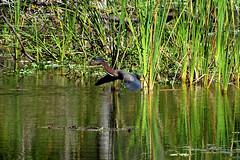 Green Heron (M. Coppola) Tags: boydhillnaturepreserve pinellas florida greenheron butoridesvirescens