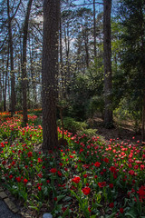 A walk in the woods (Pejasar) Tags: tulips red trees woods garvanwoodlandgardens hotsprings arkansas beauty flowers blossoms blooms spring 2019