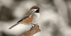 Mésange à tête brune \ Boreal Chickadee (Alain Daigle) Tags: mésangeàtêtebrune borealchickadee